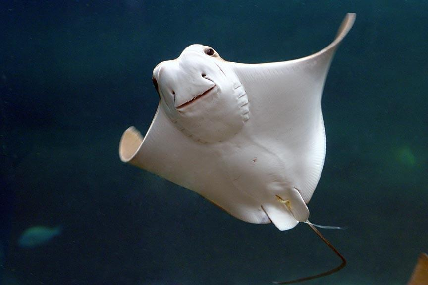 STINGRAY IN FLIGHT